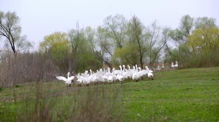 flock of geese : A herd of white domestic geese grazes on a green field Stock Footage
