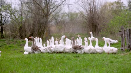 A herd of white domestic geese grazes on a green field Filmati Stock