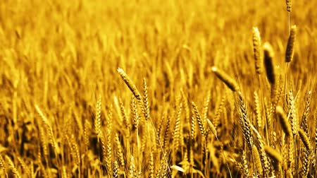 Video of wheat fields for baisakhi festival. Stok Video