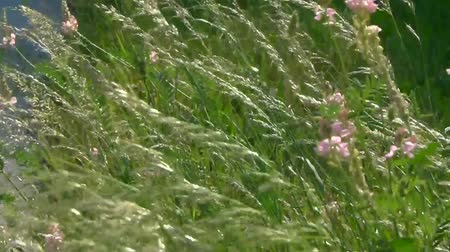 perennials : Dense thickets Poa pratnsis sways in the wind, with a light wind blows. Stock Footage