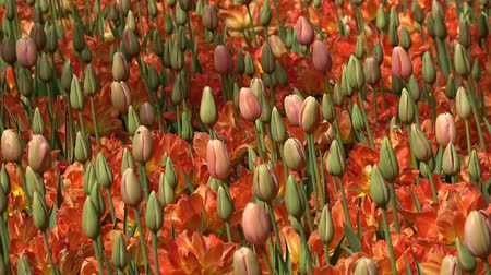 yay : Field of tulips of different colors Stok Video