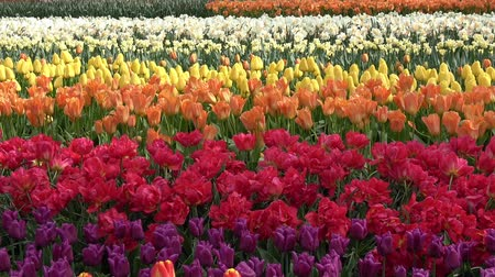 tulipany : Field of tulips of different colors Wideo