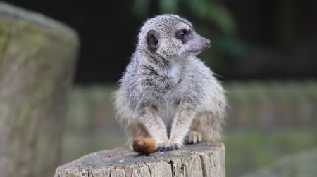 mangostan : Meerkat animal cerrar vista Archivo de Video