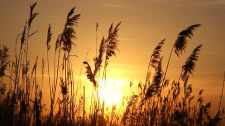 večer : High reed against sunset sky in wind day