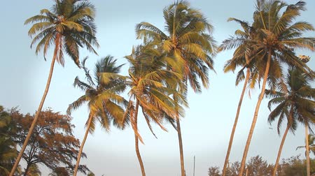 coconut palm tree : coconut palm trees and sky