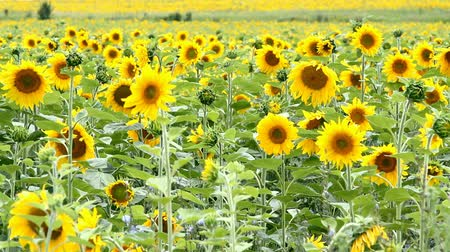terep : sunflower field