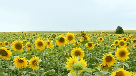 pasture land : sunflower field over cloudy blue sky
