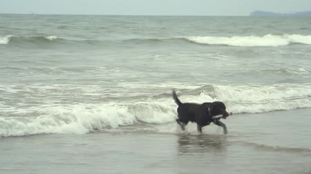 cauda : Goa India  February 28 2015: dogs shall stick out of the sea. Goa state Arambol beach. Stock Footage