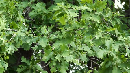 žalud : Oak leaves swaying from light wind Dostupné videozáznamy