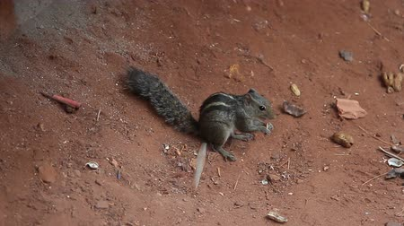 hackee : nimble little squirrel eating a nut