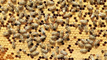 arı kovanı : swarm of bees produce honey Stok Video