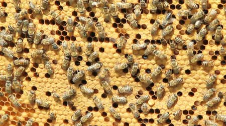 osa : swarm of bees produce honey Wideo