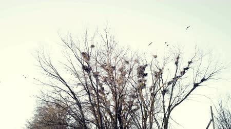 corvo : A flock of crows crowing flies over a tree with nests