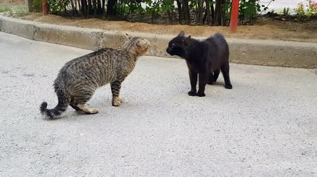 когти : Two cats with a meow and a roar fight each other Стоковые видеозаписи