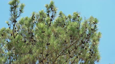 кедр : Pine branch with cone on the wind over blue sky
