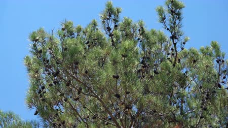 sedir : Pine branch with cone on the wind over blue sky