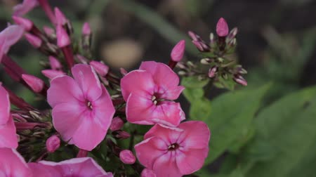 Beautiful Crimson Phlox Blooming in Springtime and Swinging on the Wind. Vídeos