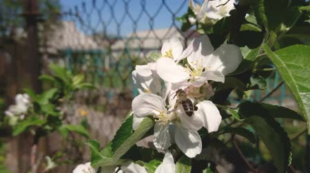 Honey Bee is sitting on white apple flower and pollinating blossom apple-tree in a garden on a sunny spring day. Vídeos