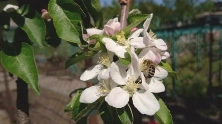 Honey Bee is pollinating white flower blossom of apple tree on sunny spring day in garden. Nature springtime background.