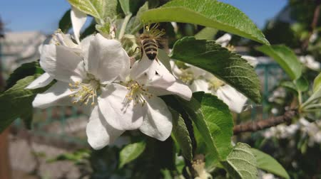 Honey Bee is pollinating white apple flower in garden on sunny spring day. Nature springtime background.