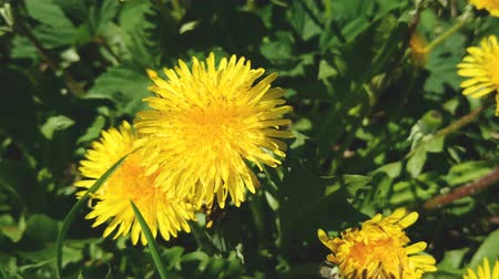 vegetativo : Blossom of yellow blowball flowers in springtime sunny day.