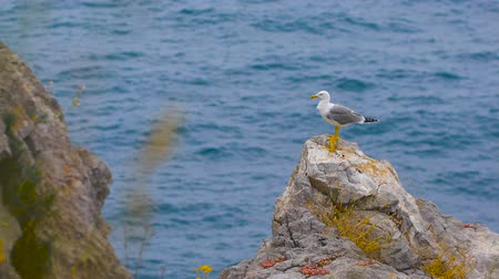 argentatus : Seagull standing on a rock by the sea