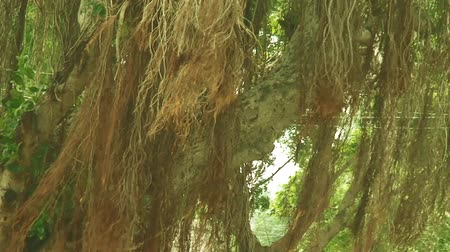 banyan : Tilt up Banyan tree with aerial roots. Natural background. Stock Footage