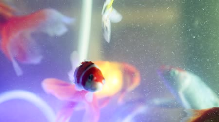 miska : Gold fish swimming in fish tank, Fish in the aquarium Wideo