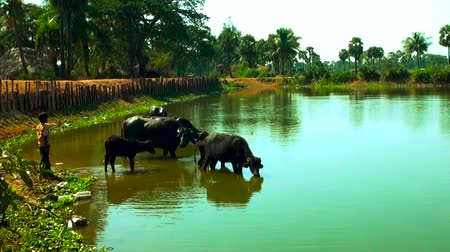 buzağı : South Asia buffalo in the river or pond Stok Video