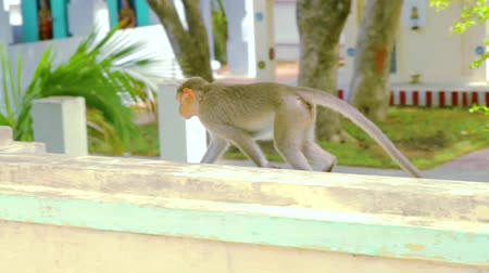 south asian food : South asian moneky walking on the house exterior roof. Stock Footage