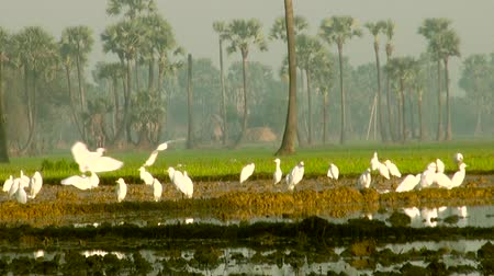 brown rice : White birds foraging on rice field, birds flying at nature background.