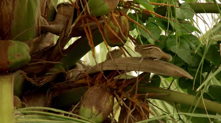 palm squirrel : Squirrel Matting Coconut Tree Stock Footage