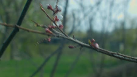 Flowering apricot branch Wideo