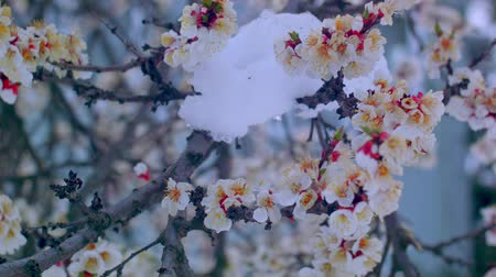 Flowering apricot in the snow in April Wideo