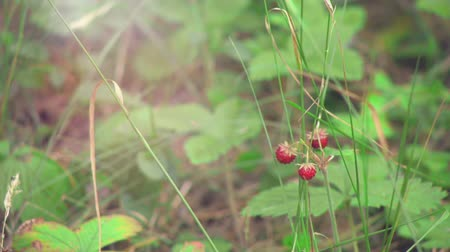egres : Close up shot of Wild Strawberry Fragaria vesca into the wild Stock mozgókép