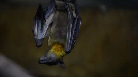 pteropus : Fruit bat also known as frying fox Stock Footage