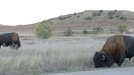 bufala : Selvaggio Buffalo in roaming nei pressi del campeggio nel Badlands National Park South Dakota Filmati Stock