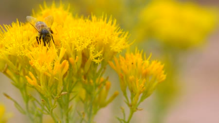 Busy Honey Bee on a Yellow Flower Macro Стоковые видеозаписи