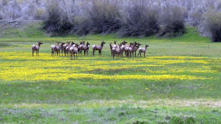 rochoso : rocky mountain elk feed in a meadow near telluride, colorado