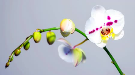 orchideák : White Orchid Flower Openning Blooming, Blossom, over neutral grey background 4k Time-lapse, timelapse