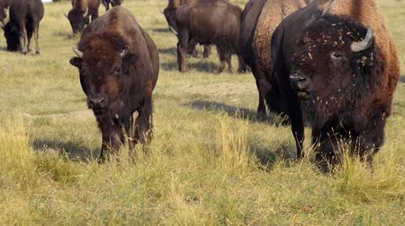 sud america : Selvaggio Buffalo Bison migrazione Badlands National Park South Dakota