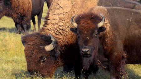 bufala : Selvaggio Buffalo Bison migrazione Badlands National Park South Dakota
