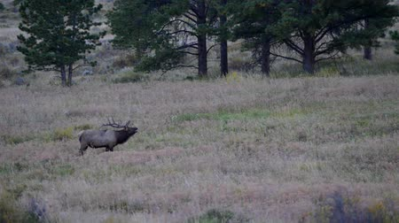 rochoso : Large Male Elk Calling Rocky Mountain National Park