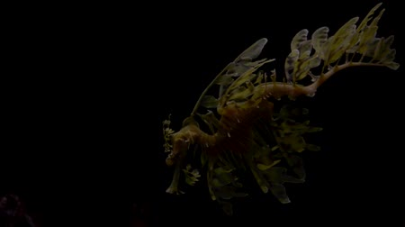 yaratık : The leafy seadragon, Phycodurus eques against black bacground