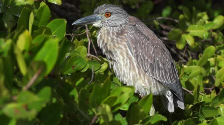 violacea : Yellow-crowned Night Heron, Nyctanassa Violacea Birds of florida Stock Footage