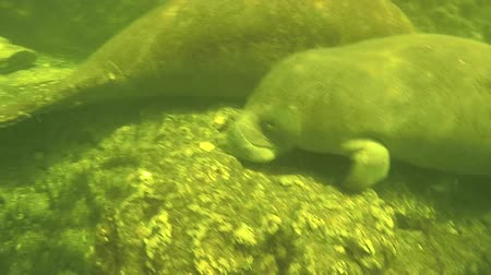 mother cow : Close-up of a manatee Florida Fresh Water Spring