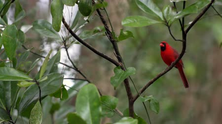 wild bird : Male Northern Cardinal Bird Stock Footage