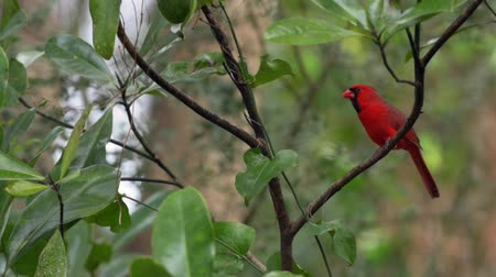 ptak : Male Northern Cardinal Bird Wideo