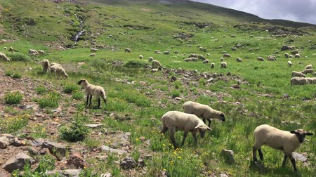 Livestock Sheep Grazing in  Colorado Mountains
