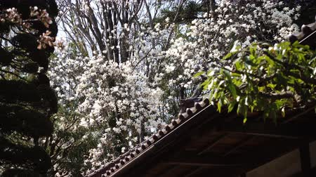 magnólia növény : White Magnolia Flowers Swaying in the Wind over a Traditional Japanese House